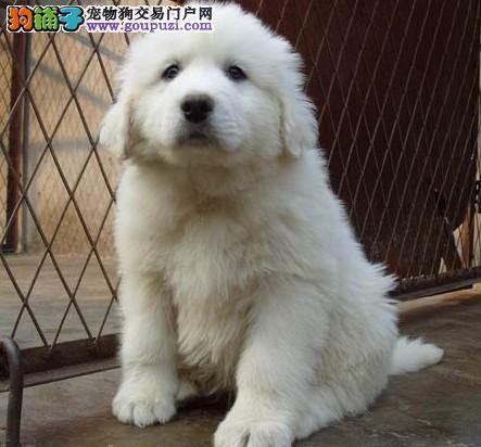 神犬繁殖基地长期出售大白熊