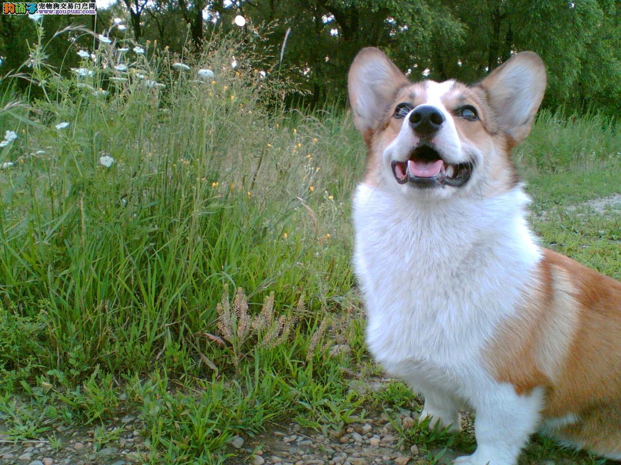 神犬繁殖基地长期出售威尔士柯基保您喜欢