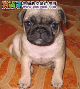 100%纯种健康的上海巴哥犬出售诚信经营良心售后