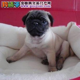 极品纯正的巴哥犬幼犬热销中可签订活体销售协议
