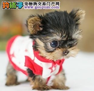 狗狗纯种迷你约克夏家养幼犬犬业品质有保证