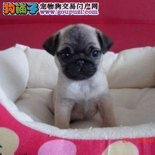 神犬繁殖基地出售品相好的巴哥欢迎您上门订购