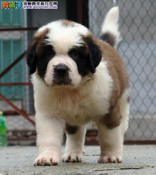 大型专业培育圣伯纳幼犬包健康全国送货上门