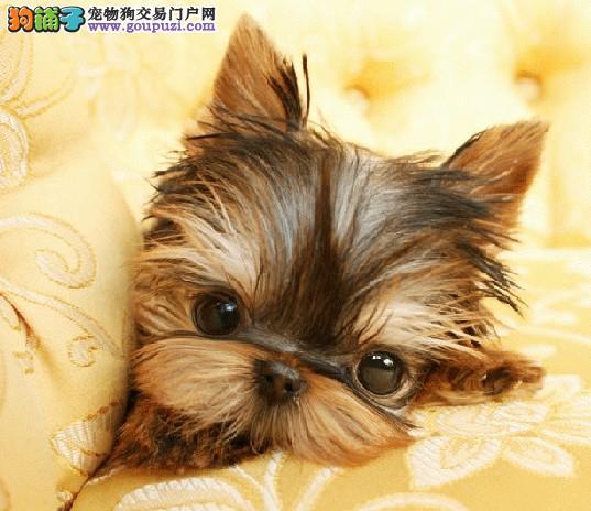 多种颜色的赛级约克夏幼犬寻找主人签协议上门选