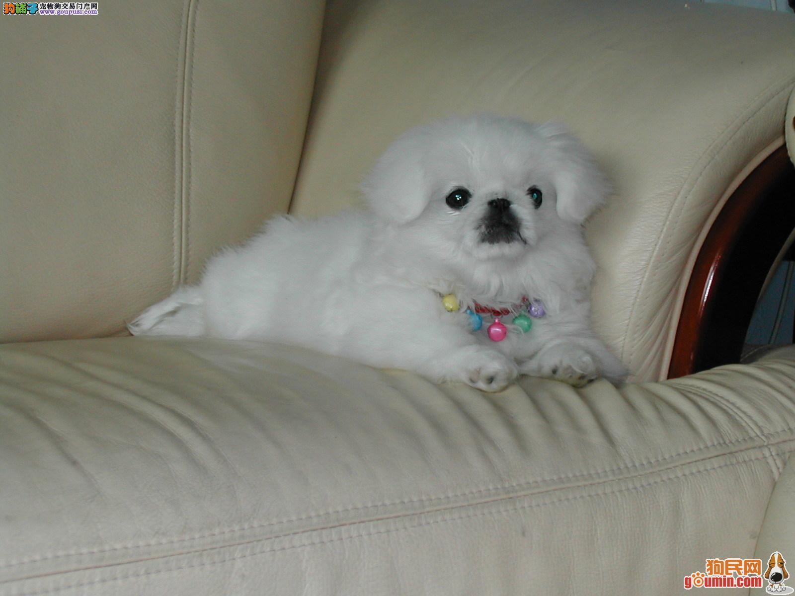 自己家繁殖京巴幼犬出售,品相好,血统纯,可随时看狗