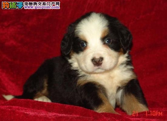 出售纯正健康的伯恩山幼犬 狗狗品相漂亮 血统纯正健