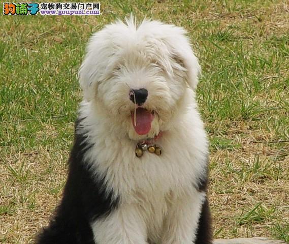 皇家古牧白头黑背极品幼犬待售中,赠喂养手册