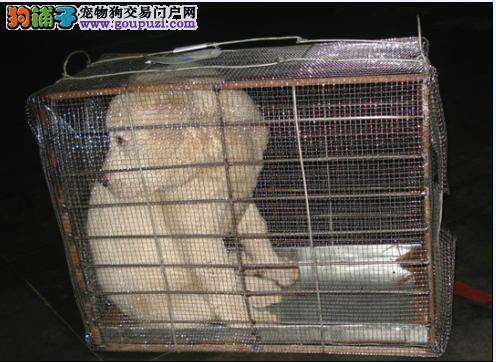 因环境原因转让一只4个多月的中亚牧羊犬