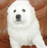 大白熊重庆CKU认证犬舍自繁自销诚信经营良心售后
