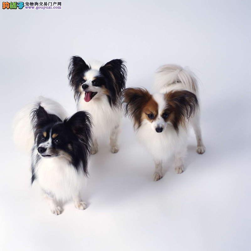 纯种的西班牙蝴蝶犬幼犬宠物狗狗低价寻找爱心爸妈