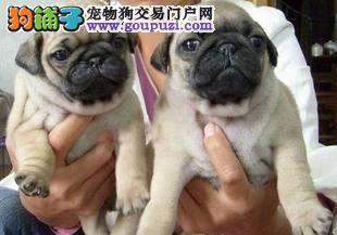 出售高品质巴哥犬 专业繁殖包质量 三包终生协议