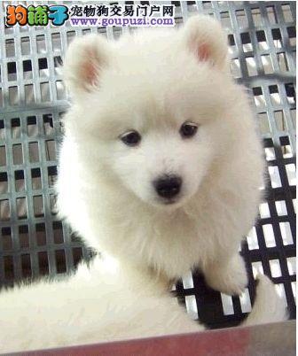 两个月的银狐幼犬转让(送狗笼生活用品狗粮以及尿垫)
