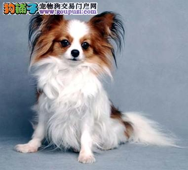 成都什么地方买到便宜的蝴蝶犬多少钱 成都蝴蝶犬图片