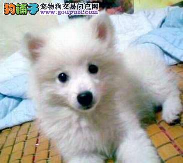 火爆出售血统纯正的银狐犬终身完善售后服务