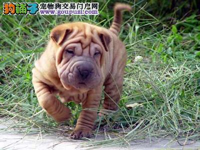 国际注册犬舍 出售极品赛级沙皮狗幼犬签订协议终身质保