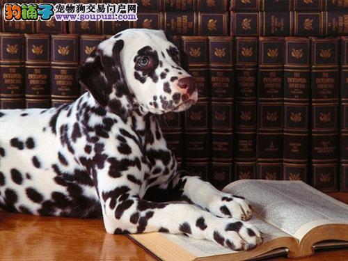 黄石自家狗场繁殖直销斑点狗幼犬欢迎您的指导