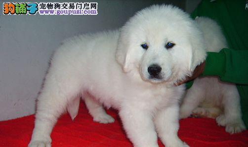 不可思议吧,出售不可思议的宠物— 大白熊