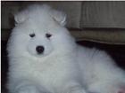 漂亮可爱纯种的大白熊宝宝,已做疫苗驱虫,自家养繁殖