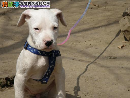 绍兴自家狗场繁殖直销杜高犬幼犬签正规合同请放心购买