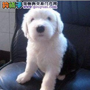 犬舍直销品种纯正健康重庆古代牧羊犬期待您的来电咨询