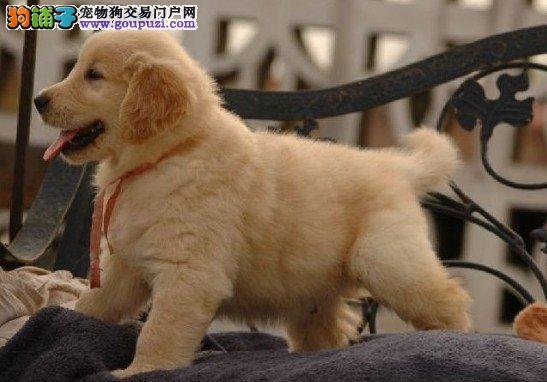 导盲犬金毛猎犬金毛幼犬金毛宝宝专业繁殖高品质出售