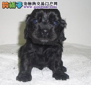 繁殖基地出售赛级品相可卡幼犬保健康包纯种签质保合同