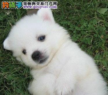 上海银狐 纯种宠物犬出售日本银狐犬尖嘴,包健康