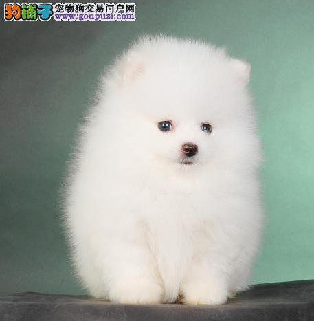 黄色/白色博美宝宝基地出售纯种健康哈多利亚博美幼犬