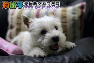 基地直销极品西高地幼犬 保健康保纯种 签售后协议