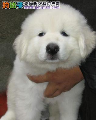 雪白,高大,2个多月的大白熊宝宝