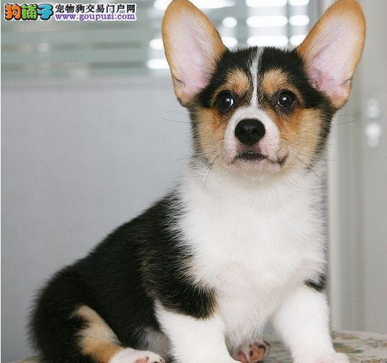 纯血统活泼可爱柯基幼犬 基地直销 纯种健康质保