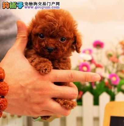 北京最大犬舍出售多种颜色茶杯犬优质服务终身售后