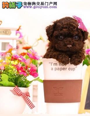 韩国血统超小体茶杯泰迪犬 多颜色欢迎上门挑选