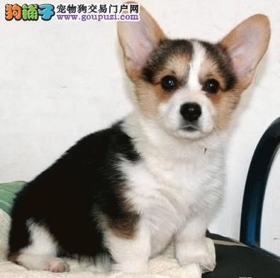 纯种健康赛级柯基犬 幼犬出售质保终身签订协议