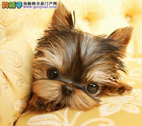 成都哪里有卖纯种约克夏成都到哪里买狗最好
