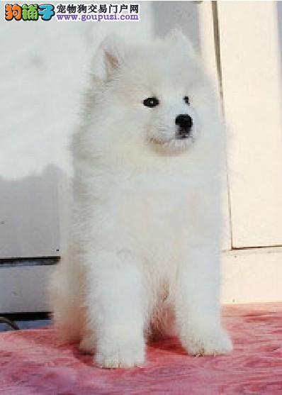 促销高品质澳版萨摩耶 郑州顶尖犬舍直销保证品质