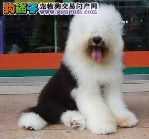 广州古牧犬照片 广州宠物狗古牧犬价格