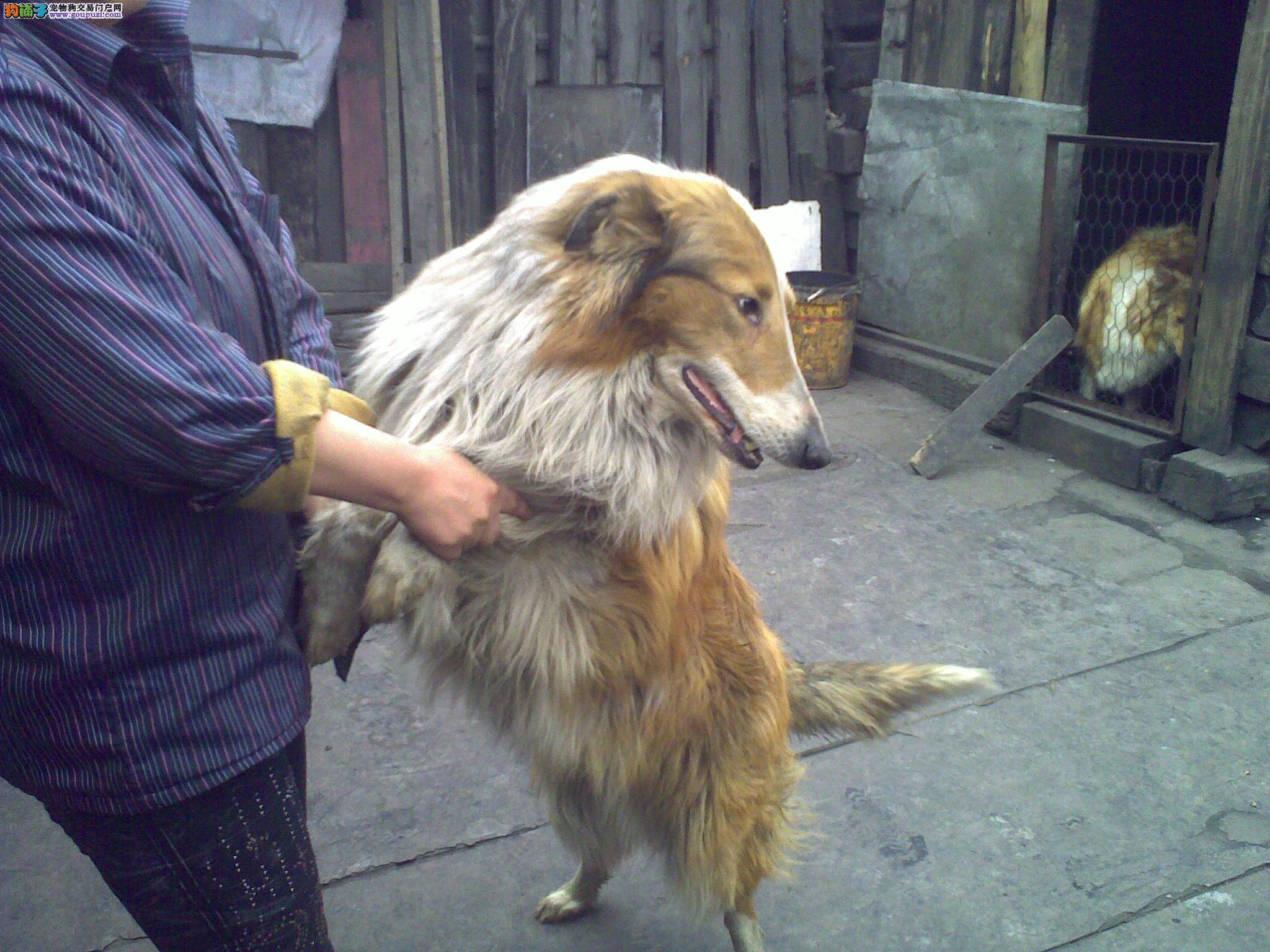 家养苏牧幼犬公母有售,每只500元