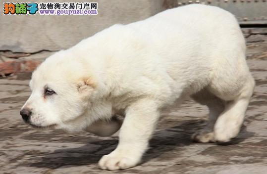转让一只5,6个月的全白公中亚牧羊犬