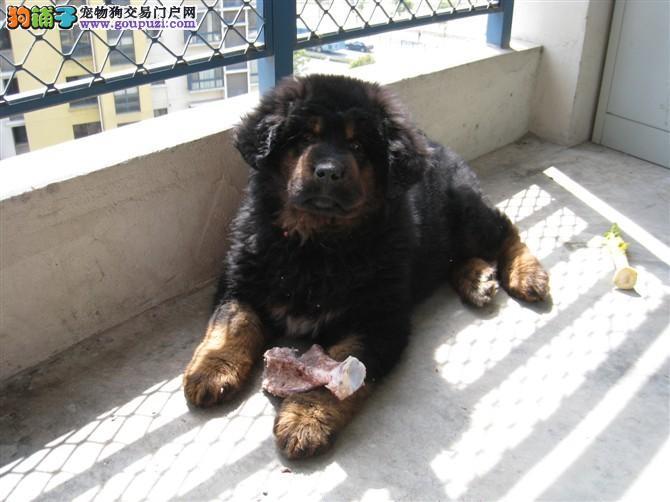 藏獒/藏獒/藏獒幼犬狮子头虎头都有可上门看狗[三个月公母全有]