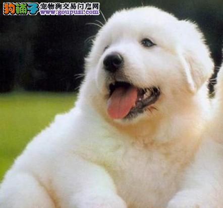 南京大白熊大白熊 幼犬出售 品相纯正 保证健康