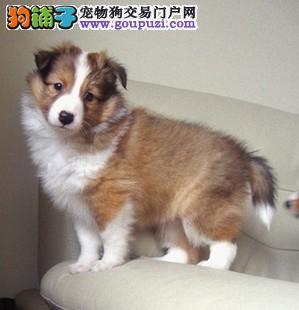 出售自家繁殖纯种优质苏牧幼犬 疫苗齐全 可上门看狗