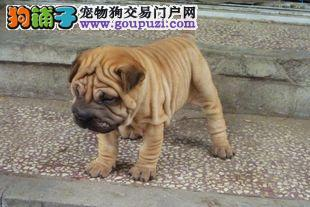 沙皮狗最大的正规犬舍完美售后签订终身协议