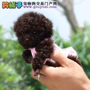 西安精品高品质茶杯犬宝宝热销中保障品质售后