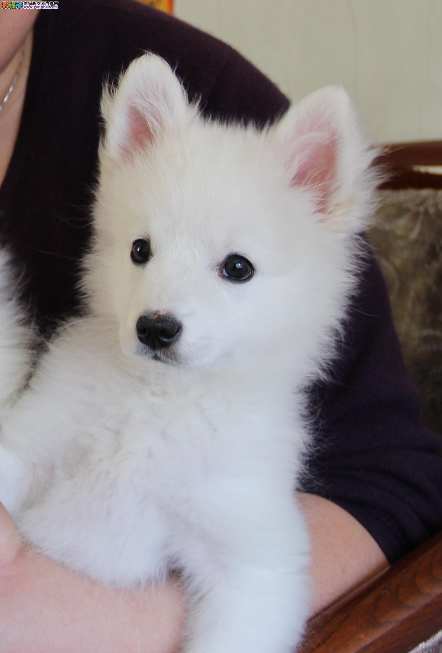 自家繁殖日本银狐小犬、找个爱犬人士、求购、、、