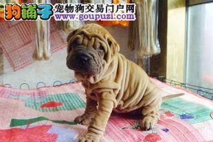 专业养殖基地出售纯种沙皮幼犬