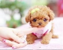 精品高品质茶杯犬幼犬热卖中微信选狗直接视频