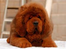 常州/宠物狗藏獒狮子头铁包金大型藏獒育苗已做[两个月公母全有]