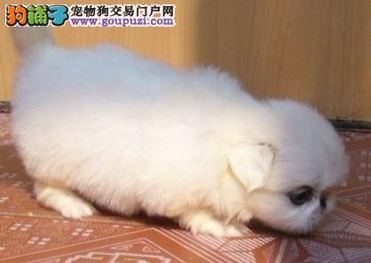 广州哪里有卖京巴狗广州哪里的京巴比较健康