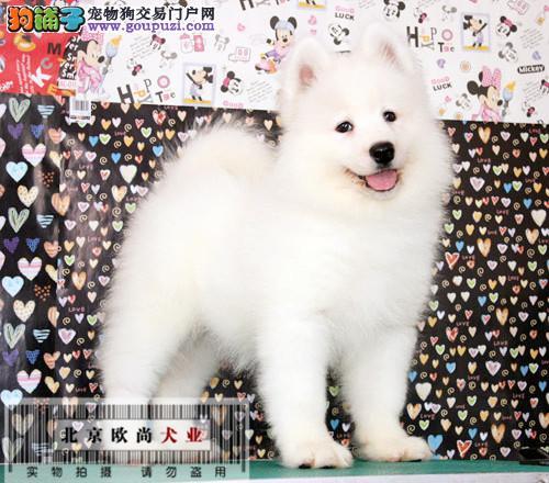 北京欧尚犬业出售高品质萨摩耶。健康保证三个月、